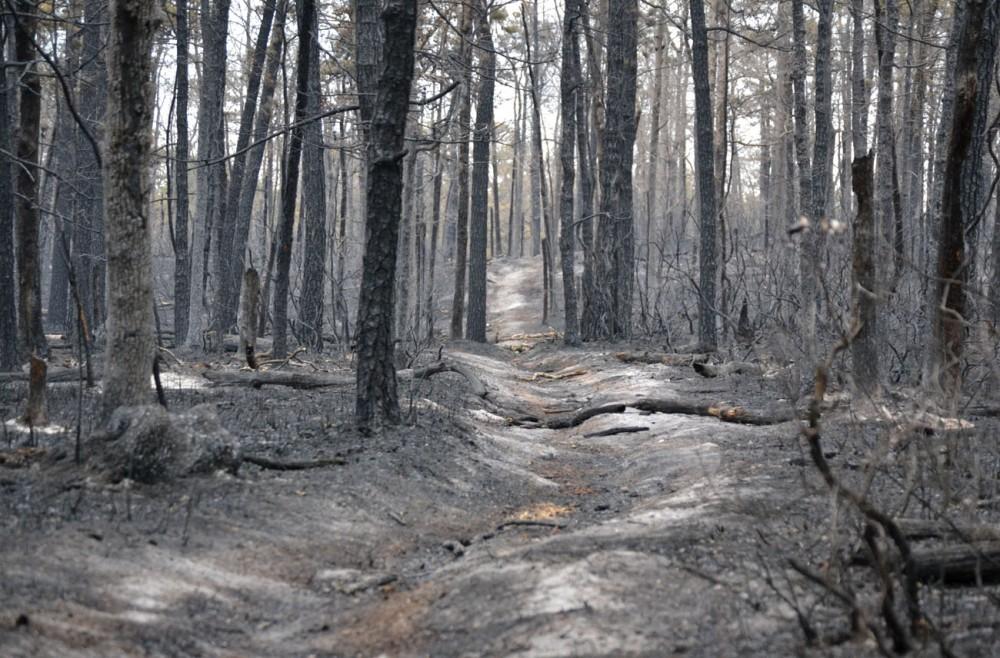 burnt-pine-forrest